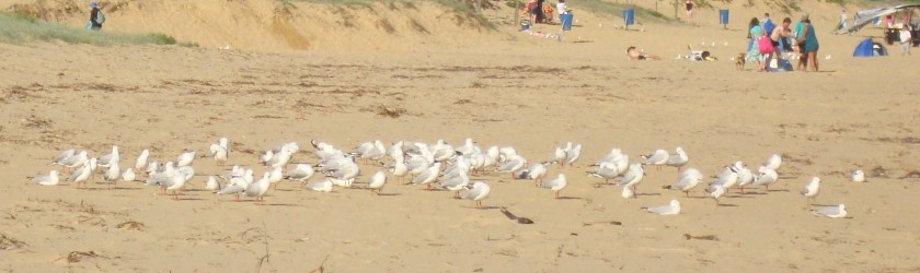 Seaguls resting at Umina Beach